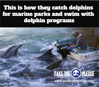 this-is-how-they-catch-dolphins-for-marine-parks